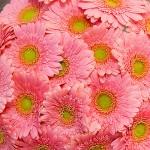 19 нежно-розовых гербер