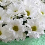 51 ромашковая хризантема