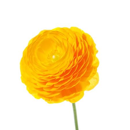 Лютик оранжевый