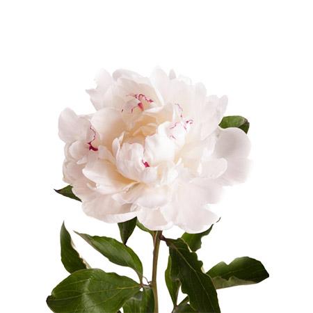 Пион бело-розовый