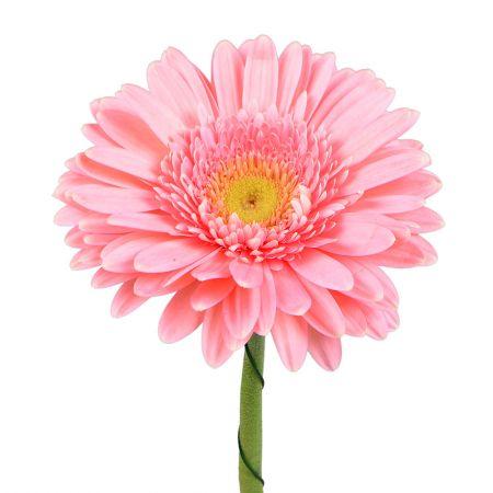 Гербера светло-розовая