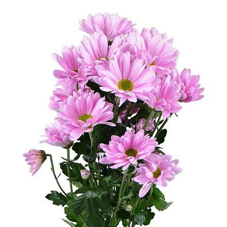 Хризантема ромашковая розовая