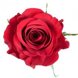 Роза «Freedom»