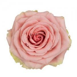 Роза «Geraldine»