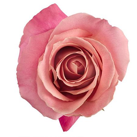 Роза «Hermosa»