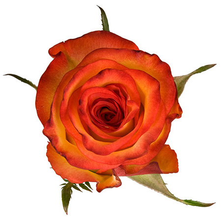 Роза «High Orange»