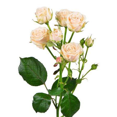 Роза кустовая кремовая
