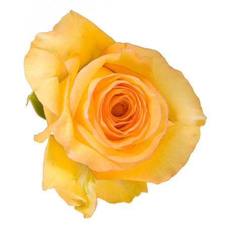 Роза «Mohana»