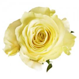 Роза «Mondial»