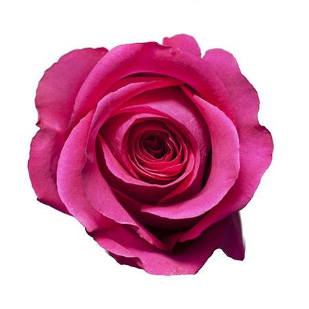 Роза «Pink Floyd»
