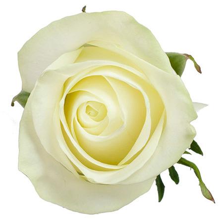 Роза «Polar Star»