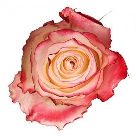 Роза «Sweetness»