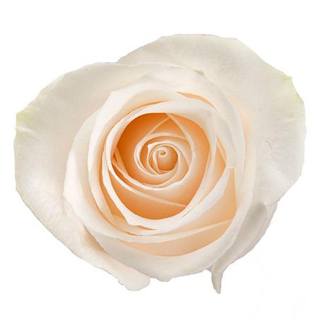 Роза «Vendela»