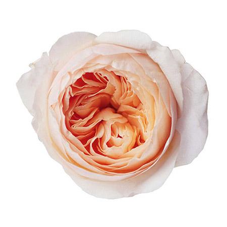 Роза садовая «David Austin Juliet»
