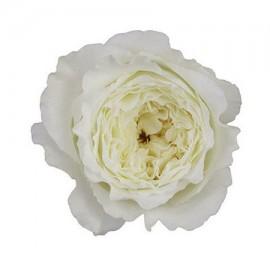 Роза садовая «David Austin Patience»