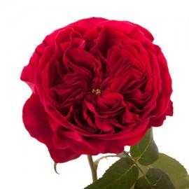 Роза садовая «David Austin Tess»