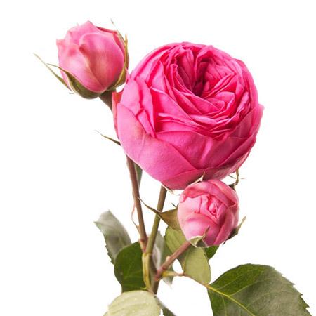 Роза кустовая садовая розовая