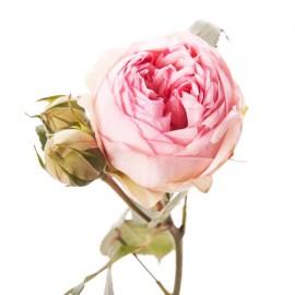 Роза кустовая садовая светло-розовая