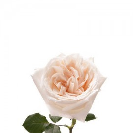 Роза садовая «White O'Hara»